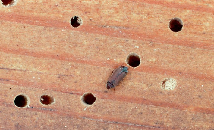 Common furniture beetle (Anobium punctatum) on a piece of wood, near a number of holes. The holes are formed by the tunnelling larvae (woodworm) of the beetle. These burrow into the wood after hatching from eggs laid in cracks or existing holes in the surface. The adults emerge in mid-summer, leaving the characteristic holes behind., Image: 101633335, License: Rights-managed, Restrictions: , Model Release: no, Credit line: Profimedia, Sciencephoto RM