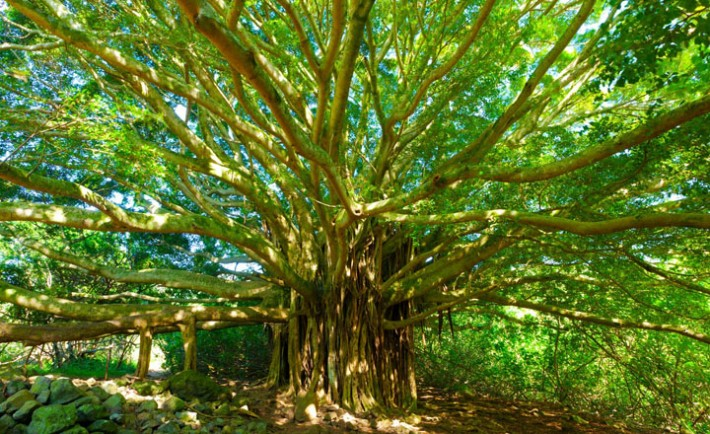 Tree of Life, Amazing Banyan Tree, Image: 282199602, License: Royalty-free, Restrictions: , Model Release: no, Credit line: Profimedia, Designpics