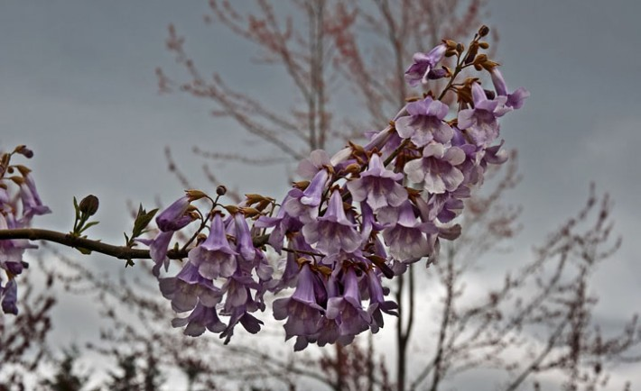 This rare foxglove tree, Paulownia tomentosa is in full bloom with a spray of purple blossoms, upwards against a gray, stormy sky. Other common names are Empress or Princess tree., Image: 133878708, License: Royalty-free, Restrictions: , Model Release: no, Credit line: Profimedia, Alamy